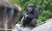175_0310_angry_chimp