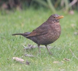 blackbird_female2